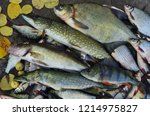 a good catch. bream  pike perch ... | Shutterstock . vector #1214975827