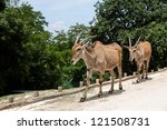 Small photo of Couple af eland antilopes alcina in a zoo - Taurotragus oryx