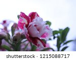 pink and white frangipani...   Shutterstock . vector #1215088717