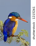 Small photo of Malachite Kingfisher : Alcedo Cristata : South Africa