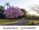 jacaranda tree in bloom   Shutterstock . vector #1215264094