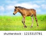 bay colt walk on spring green... | Shutterstock . vector #1215315781