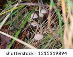 mushrooms mycena alcalina on... | Shutterstock . vector #1215319894