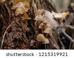 mushrooms mycena alcalina on... | Shutterstock . vector #1215319921