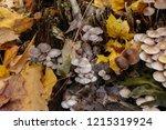 mushrooms mycena alcalina on... | Shutterstock . vector #1215319924