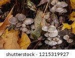 mushrooms mycena alcalina on... | Shutterstock . vector #1215319927