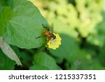 hoverfly flower fly  syrphid... | Shutterstock . vector #1215337351