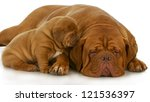 Mother And Puppy   Dogue De...