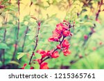 chaenomeles japonica  retro... | Shutterstock . vector #1215365761