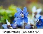 first spring flower   anemone... | Shutterstock . vector #1215365764