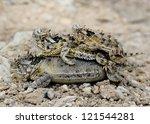 Lizard Family Piled Up   Texas...