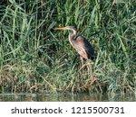Purple Heron Hiding In The Reeds