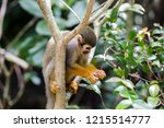 Squirrel Monkey Holding Peanut