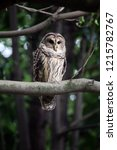 a barred owl or hoot owl is... | Shutterstock . vector #1215782767