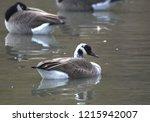 hybrid canada goose | Shutterstock . vector #1215942007