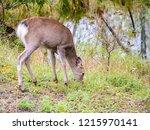 hokkaido sika deer at kushiro...   Shutterstock . vector #1215970141