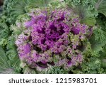 Ornamental Kale Plants And...