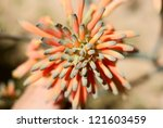 Small photo of Aloe succotrina - Orange flowers on Aloe Vera in Southern California