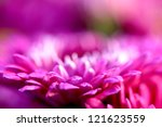 Beautiful Pink Chrysanthemum...