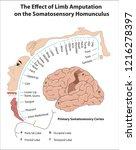 primary somatosensory cortex.... | Shutterstock .eps vector #1216278397