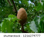 close up broad leaf mahogany or ... | Shutterstock . vector #1216279777