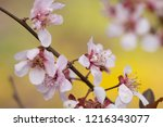 april plum blossoms coming to...   Shutterstock . vector #1216343077