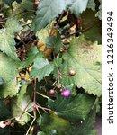 wild purple berries on the... | Shutterstock . vector #1216349494