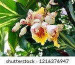 white flower of shell ginger ... | Shutterstock . vector #1216376947