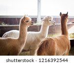 colorful group of alpacas on... | Shutterstock . vector #1216392544