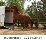 horse refusing to enter trailer | Shutterstock . vector #1216418497