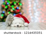 Stock photo kitten sniffing sleepy white fluffy samoyed puppy in red santa hat on a background of the 1216435351