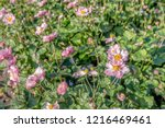 closeup of pink flowers and...   Shutterstock . vector #1216469461