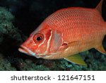 Giant Squirrelfish in the coral reef - stock photo