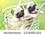 cute puppies brown pug standing ... | Shutterstock . vector #1216481101