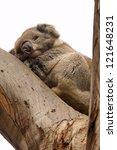 lazy koala is slipping on a... | Shutterstock . vector #121648231