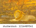 adult male lion resting in... | Shutterstock . vector #1216489561