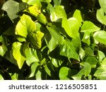 green ivy entangled in the... | Shutterstock . vector #1216505851