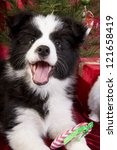 Happy Christmas Border Collie...