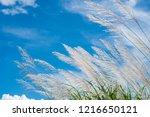 wind blowing white grass flower ...   Shutterstock . vector #1216650121