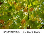 branch with leaves in autumn...   Shutterstock . vector #1216711627