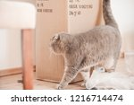 Stock photo grey cat is looking at furniture assembly box for his new cat play hause in living room indoors 1216714474