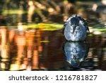 harsh disheveled bird reflected ...   Shutterstock . vector #1216781827