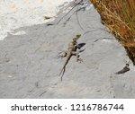 a lizard sunbathing on a rock | Shutterstock . vector #1216786744