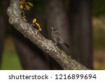 robin perched in a tree | Shutterstock . vector #1216899694