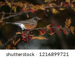 robin perched in a tree | Shutterstock . vector #1216899721