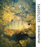 perch fish. russian bass on a... | Shutterstock . vector #1217103391