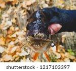 perch fish. russian bass on a... | Shutterstock . vector #1217103397