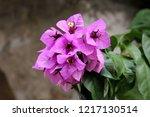 Bougainvillea Hardy Vine Plant...