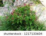 marvel of peru or mirabilis... | Shutterstock . vector #1217133604