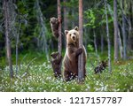 She-bear and bear cubs in the summer forest on the bog among white flowers. Natural Habitat. Brown bear, scientific name: Ursus arctos. Summer season.